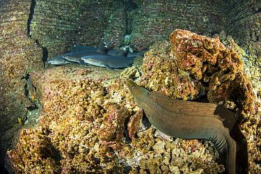 Panamic green moray (Gymnothorax castaneus) and Whitetip reef sharks (Triaenodon obesus) Roca Partida close to San Benedicto Island, Revillagigedo Archipelago Biosphere Reserve, Socorro Islands, Weste...
