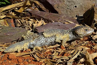 Bobtail Tiliqua (Trachydosaurus rugosa) captive, occurs in Australia.