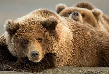Coastal brown bears (Ursus arctos) resting, Lake Clarke National Park, Alaska, September