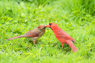 """Northern cardinal (Cardinalis cardinalis) male (right) feeding his mate in spring as part of courtship/pair formation, termed """"allofeeding"""", New York, USA,  May."""