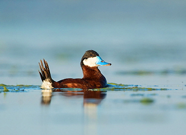 Ruddy Duck (Oxyura jamaicensis) male with tail raised during courtship display (bubble display), Bowdoin National Wildlife Refuge, Montana, USA, June.