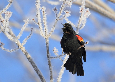 Red-winged Blackbird (Agelaius phoeniceus) male singing from ice-covered branch in early spring, Ithaca, New York, USA.