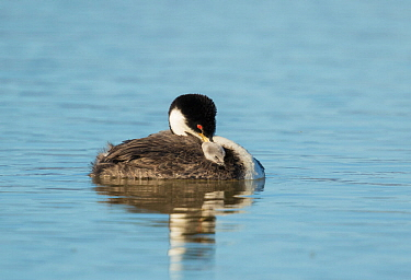 Western grebe (Aechmophorus occidentalis) adult with chick riding on its back, both napping, Bear River Migratory Bird Refuge, Utah, USA, May.