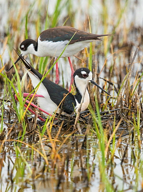 Black-necked Stilt (Himantopus mexicanus) pair building nest in shallow wetland, male in foreground in squatting and pushing backwards with his feet/legs  to form a nest scrape in vegetation the pair...