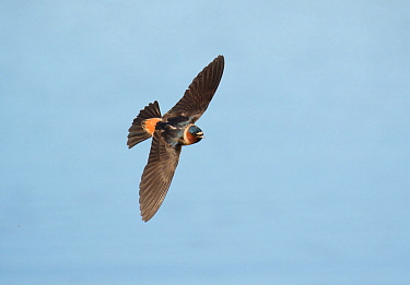 Cliff Swallow (Petrochelidon pyrrhonota) adult in flight, Bear River Migratory Bird Refuge, Utah, USA, May.