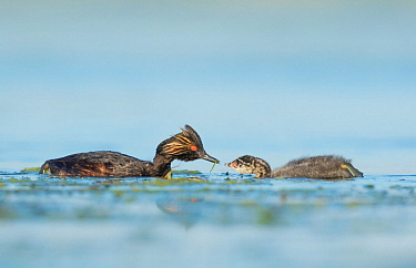 Eared grebes (Podiceps nigricollis), adult offering food (damselfly) to chick on the water, Bowdoin National Wildlife Refuge, Montana, USA