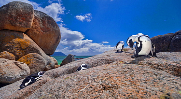 African penguins (Spheniscus demersus) preening themselves on rocks at the Boulders Beach colony near Cape Town, South Africa.