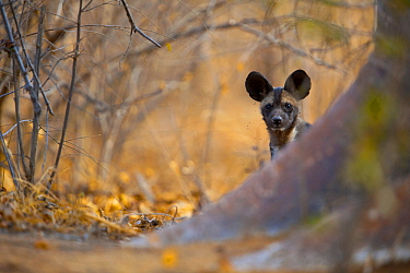 African wild dog (Lycaon pictus) pup peers around the base of a giant baobab tree on Save Valley Conservancy.  Zimbabwe.