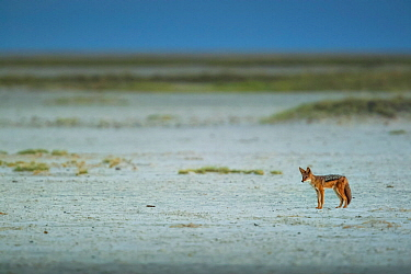 Black-backed jackal (Canis mesomelas) standing in the middle of the vast Makgadikgadi Pans, Botswana.