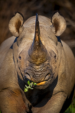 Black rhinoceros (Diceros bicornis) feeding in early morning light, Kariega Game Reserve. South Africa.