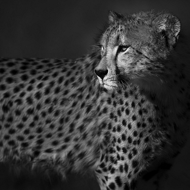Cheetah (Acinonyx jubatus) staring back over its shoulder, black and white. Save Valley Conservancy, Zimbabwe, August.