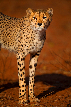 Cheetah (Acinonyx jubatus) standing in early morning light, Save Valley Conservancy, Zimbabwe, Vulnerable.