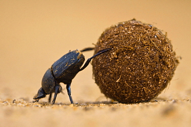 Dung beetle (Scarabaeidae) pushing ball of dung on Venetia Limpopo Reserve, Limpopo Province, South Africa.