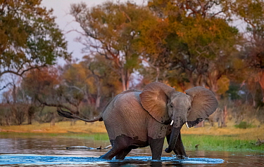 African elephant (Loxodonta africana) crosses the Selinda Spillway, northern Botswana. Vulnerable.