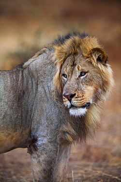 African lion (Panthera leo) male glancing over its shoulder on Northern Tuli Game Reserve, Botswana. Vulnerable species. This lion was shot illegally by South African farmers shortly after the photogr...