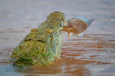 Nile crocodile (Crocodylus niloticus) snatching a Mozambique tilapia (Oreochromis mossambicus) in its jaws, Shingwedzi River, Kruger National Park, South Africa.