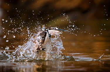 Pied kingfisher (Ceryle rudis) erupts from the water after an unsuccessful dive into the Chobe River, Chobe National Park, Botswana.