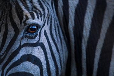 Plain's zebra (Equus quagga)  close up of face, Kariega Game Reserve. South Africa.