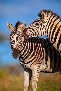 Plain's zebra (Equus quagga) biting the neck of a rival during a fight Hluhluwe imfolozi Park. South Africa.