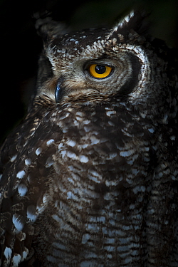 Portrait of an adult Spotted eagle owl (Bubo africanus) Table Mountain National Park, South Africa.
