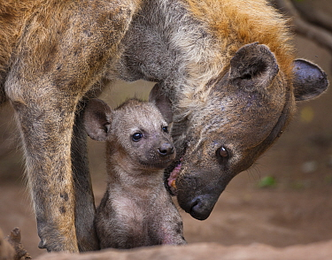 Spotted hyaena (Crocuta crocuta) reassuring her tiny pup at the entrance to their den,  Northern Tuli Game Reserve, Botswana.