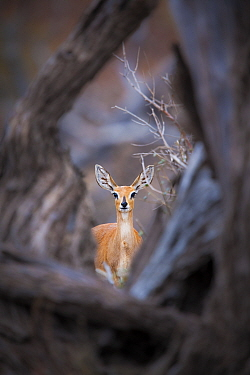 Steenbok (Raphicerus campestris) female standing framed by a fallen tree, Mapungubwe National Park, Limpopo Province, South Africa.