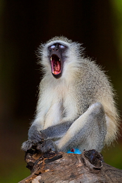 Vervet monkey (Chlorocebus pygerythrus) yawning while sitting on a fallen tree in forests, Limpopo River, Kruger National Park, South Africa.