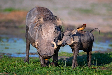 Warthog (Phacochoerus africanus) with a Yellow-billed oxpecker (Buphagus africanus) on its back, nuzzling its mother at a waterhole, Chief's Island, Okavango Delta, Botswana.