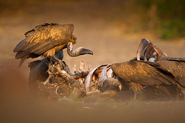 White-backed vultures (Gyps africanus) feed on a wildebeest carcass, Chobe, Botswana, August.