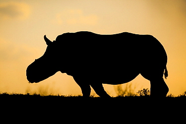White rhinoceros (Ceratotherium simum)  female 'Thandi' silhouetted against the sunset, Kariega Game Reserve. South Africa. Thandi's horns were taken in a brutal attack by poachers.