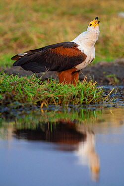 African fish eagle (Haliaeetus vocifer) standing on the banks of the Chobe River, Chobe National Park, Botswana.