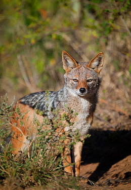 Black-backed Jackal (Canis mesomelas) stands in early morning light, Kariega Game Reserve, South Africa.