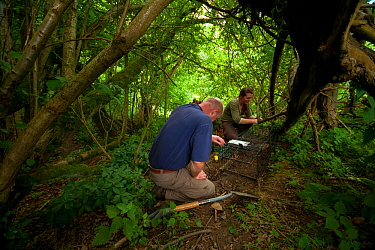 Defra Field Workers prepare a baited cage trap to catch a European Badger (Meles meles) for vaccination during bovine tuberculosis (bTB) vaccination trials in Gloucestershire, United Kingdom. June 201...