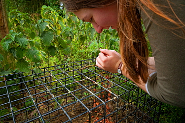 Defra Field Worker baits a cage trap with peanuts in preparation for carrying out the vaccination of European Badgers (Meles meles) during bovine tuberculosis (bTB) vaccination trials in Gloucestershi...