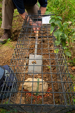 Defra Field Worker prepares a baited cage trap to catch a European Badger (Meles meles) for vaccination during bovine tuberculosis (bTB) vaccination trials in Gloucestershire, United Kingdom. June 201...