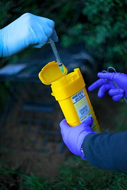 Defra Field Workers dispose of a used syringe as part of biosecurity measures after vaccinating a European Badger (Meles meles) during bovine tuberculosis (bTB) vaccination trials on farmland in Glouc...