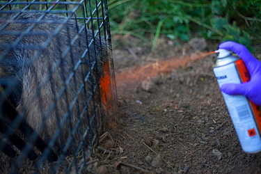 Defra Field Worker marks a European Badger (Meles meles) with spray paint after successfully vaccinating it in a cage trap as part of bovine tuberculosis (bTB) vaccination trials in Gloucestershire, U...