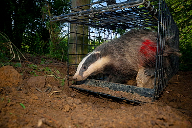 European Badger (Meles meles) exiting a cage trap after being vaccinated and marked with spray paint by Defra field workers during bovine tuberculosis (bTB) vaccination trials in Gloucestershire, Unit...