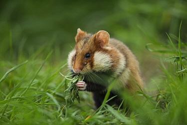 European hamster (Cricetus cricetus) feeding in grass, Vienna, Austria.