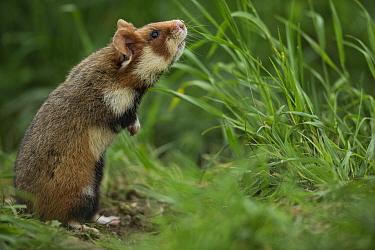 European hamster (Cricetus cricetus), standing  in grass,  Vienna, Austria.