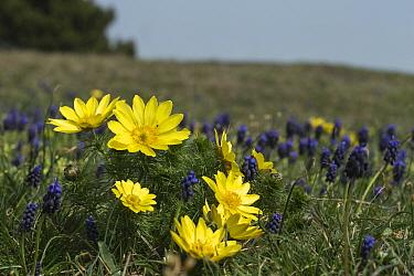 Spring pheasant's eye (Adonis vernalis) and Grape hyacinth (Muscari neglectum) Lower Austria, Austria