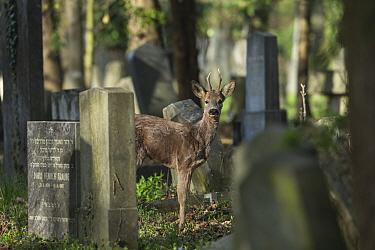 Roe deer (Capreolus capreolus), between gravestones in cemetry, Vienna, Austria, April.