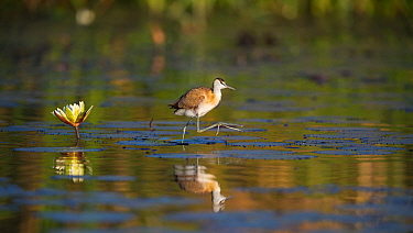 African jacana (Actophilornis africanus) juvenile walking on water lillies, Chobe river, Botswana.