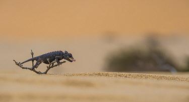 Namaqua chameleon (Chamaeleo namaquensis) hunting insects on dunes, Namib Desert, Namibia.