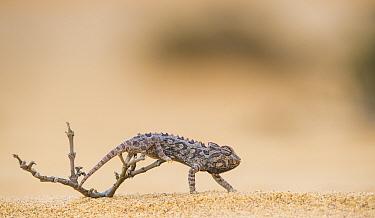 Namaqua chameleon (Chamaeleo namaquensis) hunting insects on dunes, Namib Desert Namibia.