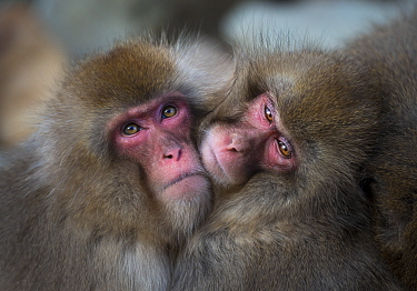 Japanese macaques (Macaca fuscata) huddling together to keep warm, Jigokudani, Nagano, Japan.