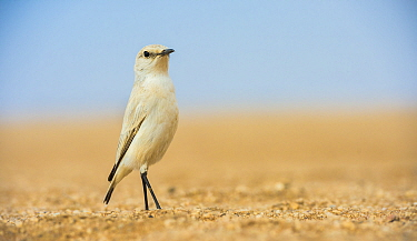 Tractrac chat (Cercomela tractrac) on ground, Namib Desert, Namibia.