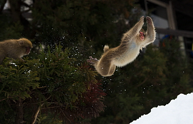 Japanese macaque (Macaca fuscata) a playful youngster launches out the tree onto the snow below, Jigokudani, Nagano, Japan.