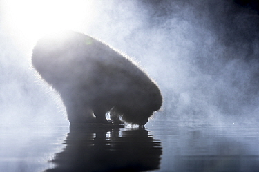 Japanese macaque (Macaca fuscata) drinking at hot spring, silhouetted in mist, Jigokudani, Nagano, Japan.