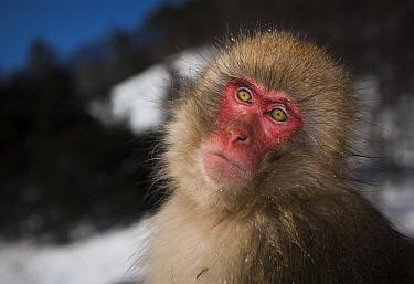 Japanese macaque (Macaca fuscata) sitting portrait, Jigokudani, Nagano, Japan.